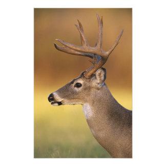 White-tailed Deer, Odocoileus virginianus, Photo Art