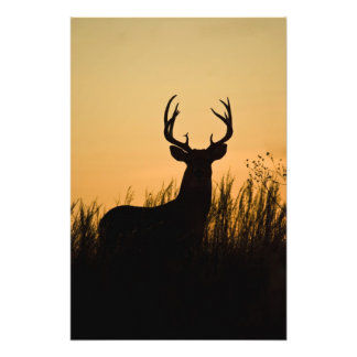 white-tailed deer Odocoileus virginianus) Photo Print