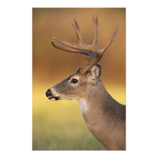 White-tailed Deer, Odocoileus virginianus, Photo Print