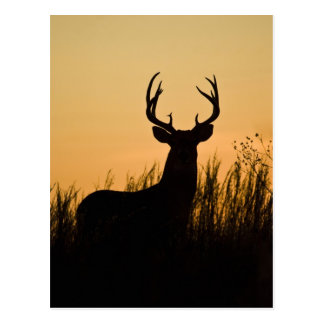 white-tailed deer Odocoileus virginianus) Postcard
