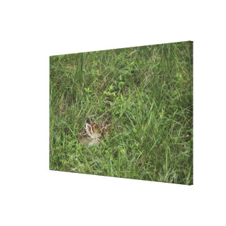 White-tailed Deer, Odocoileus virginianus, Stretched Canvas Print