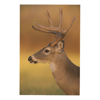 White-tailed Deer, Odocoileus virginianus, Wood Wall Decor