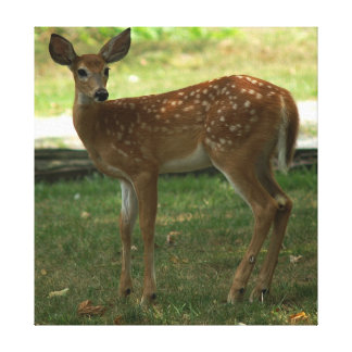 White-tailed Deer, Wrapped Canvas print.