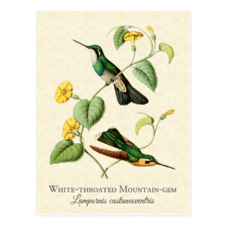 White Throat Mountain Gem Hummingbird Vintage Art Postcard