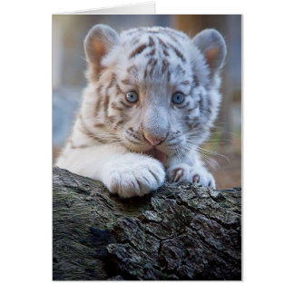 White Tiger Cub Is Paw Licking Good Card