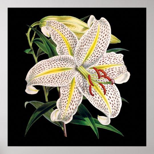 white tiger lily premium botanical print