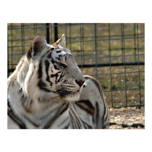 white tiger looking right animal image custom flyer