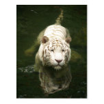 white tiger post cards