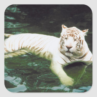 White Tiger Swimming Peacefully Square Sticker