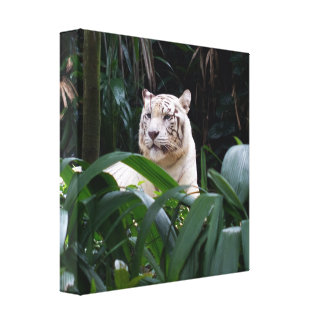 White Tiger  Wrapped Canvas Canvas Prints