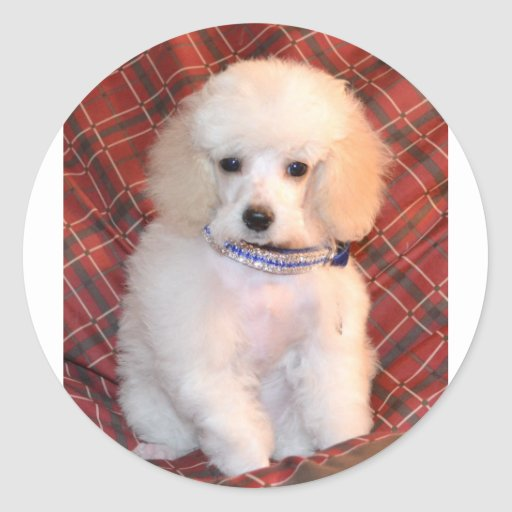 White Toy Poodle Fluffy Puppy Stickers