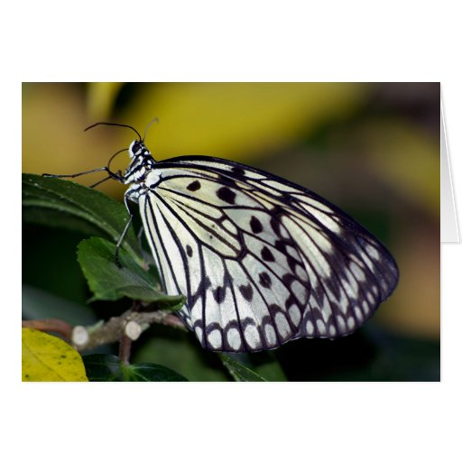 White Tree Nymph Butterfly  Greeting Cards