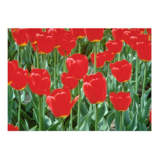 White Triumph tulips, 'Mexico' flowers Personalized Invites