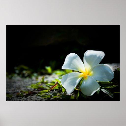 White tropical flower (frangipani) close up poster