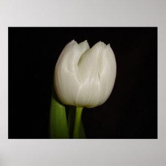 White Tulip Family Liliaceae Species Lilliopsida Poster