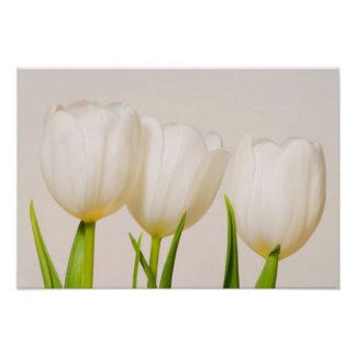White tulips against a white background poster
