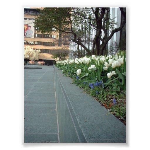 White Tulips at Springtime in Downtown Buffalo Art Photo