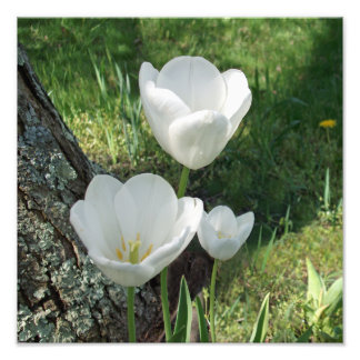 White Tulips Flower Trio Art Photo