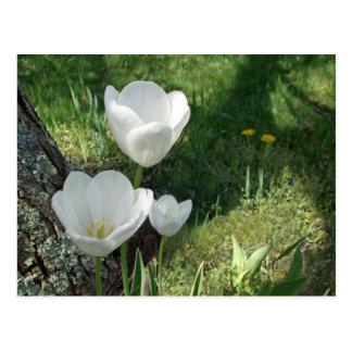White Tulips Flower Trio Postcard