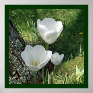 White Tulips Flower Trio Poster