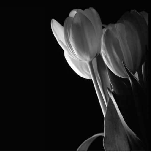 White Tulips Photo On Black Background Photo Cut Out