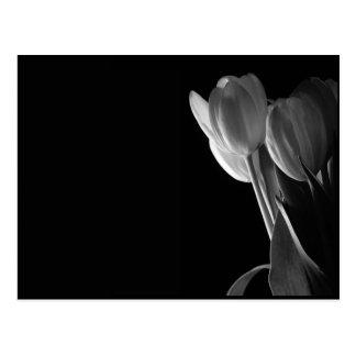 White Tulips Photo On Black Background Postcard
