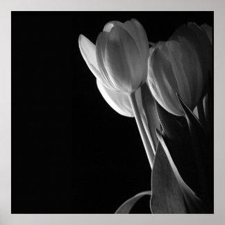 White Tulips Photo On Black Background Print