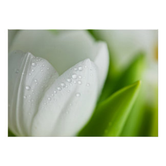 White Tulips Posters