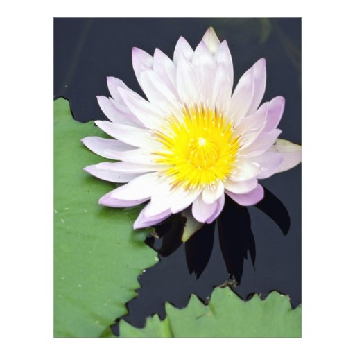 White water lily flyers