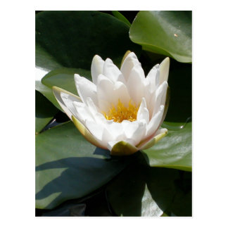 White Water Lily Lotus Flower Post Card