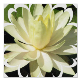 White Water Lily Poster Print