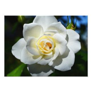 White Wedding Rose Photo Print