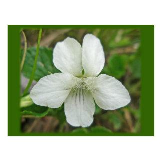 White Wild Violet Coordinating Items Postcard
