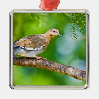 White-winged Dove Zenaida asiatica) adult, Christmas Ornament