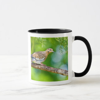 White-winged Dove Zenaida asiatica) adult, Mug