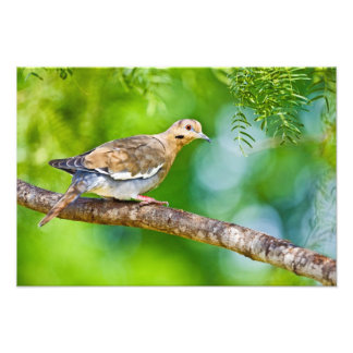 White-winged Dove Zenaida asiatica) adult, Photo Print