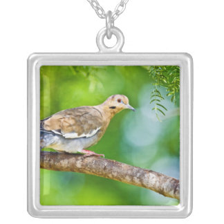 White-winged Dove Zenaida asiatica) adult, Silver Plated Necklace