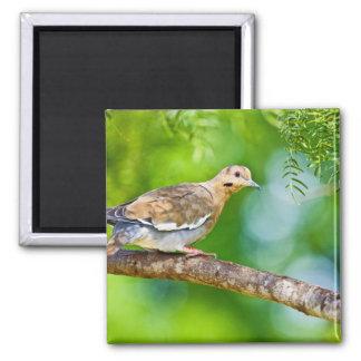White-winged Dove Zenaida asiatica) adult, Square Magnet