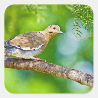 White-winged Dove Zenaida asiatica) adult, Square Sticker