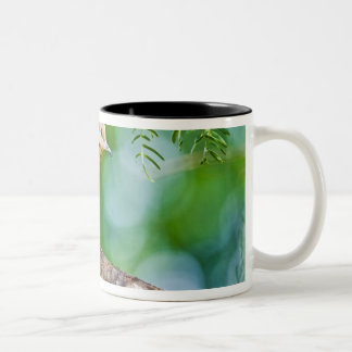 White-winged Dove Zenaida asiatica) adult, Two-Tone Coffee Mug