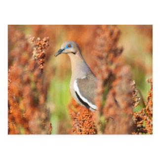 White-Winged Dove (Zenaida Asiatica) Perched Postcard