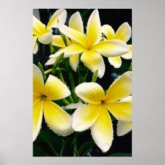 White & Yellow Hawaiian Plumerias in the Rain Poster