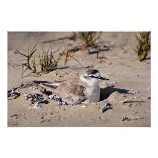 Whitefronted Plover Posters