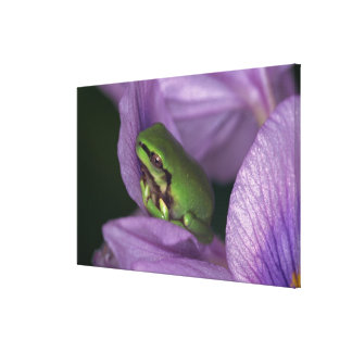 White's tree-frog canvas print