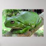 White's Tree Frog - Litoria caerulea Print