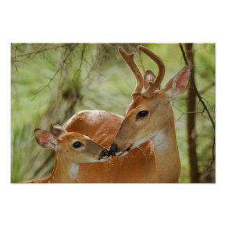 Whitetail Buck And Fawn Bonding Poster