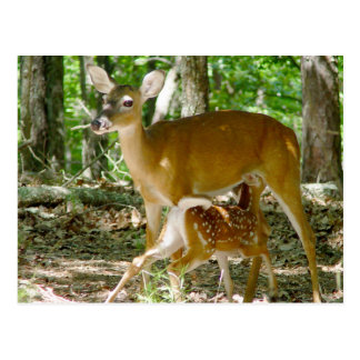 Whitetail Deer - Doe and Fawn Postcard
