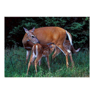 Whitetail Deer Doe And Fawns Poster Print