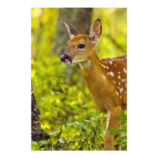 Whitetail deer fawn in Whitefish, Montana, USA Photo Print