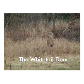 Whitetail Deer In Fall Postcard